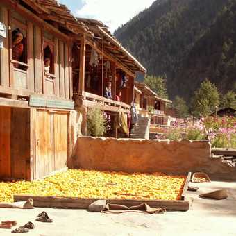 Corn drying outside village houses
