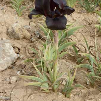 Black Iris - national flower