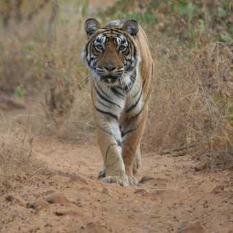 Tiger at Ranthambore - Hills of Rajasthan Nov 2007