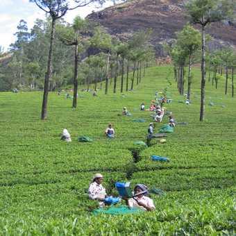 Tea pickers near Munnar