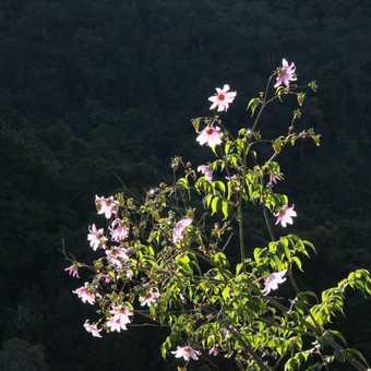 flowering bush near Savegre