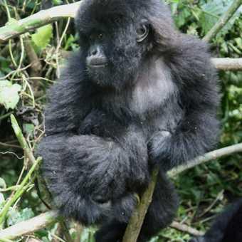 Mother & baby gorilla - Parc National des Volcans