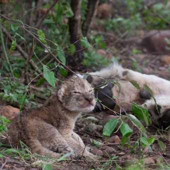 1 day lion cub