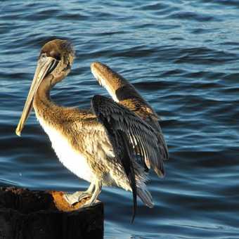 Pelican, Malecon, Havana