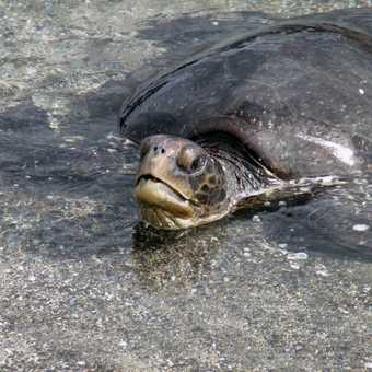 Turtle stranded in a rock pool at Punta Espinoza.  Hopefully the tide will be enough to let it free