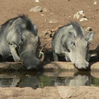 Warthogs at Ongava Waterhole