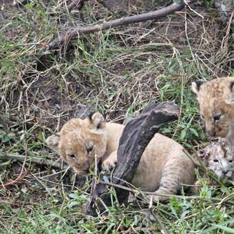 Lion Cubs - 2 weeks old & 2 hours old 1