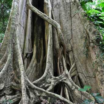 big rainforest tree