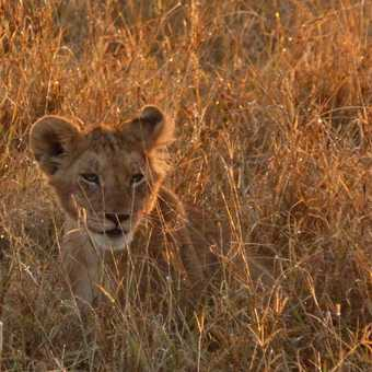 Lion cub at sunrise