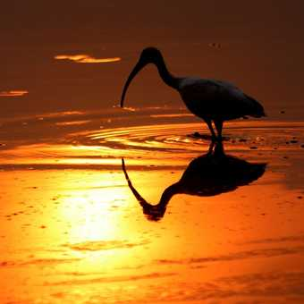 Ibis at Dawn in Croked Tree lagoon