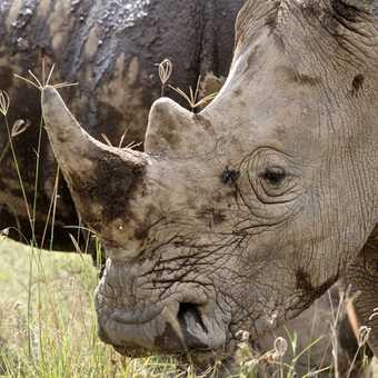 White Rhino, Lake Nakuru National Park