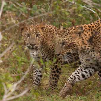 Prowling Leopards - Sri Lanka