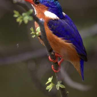 Kingfisher on Lake Mburo