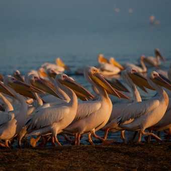 Strolling Pelicans