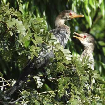 Malachite Kingfisher 1.