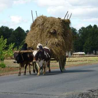 Zebu cart near Fianarantsoa