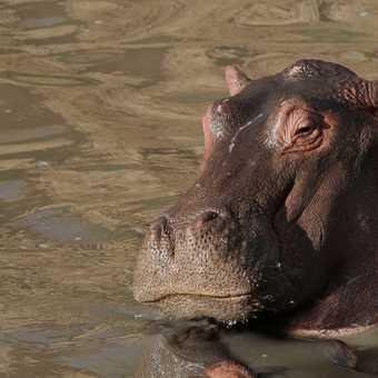 Hippo in evening sun