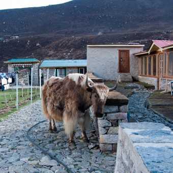 Yak at lodge in Machhermo