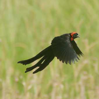 Widow Bird