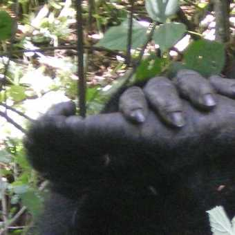 Hands and feet -  Bwindi Impenetrable NP