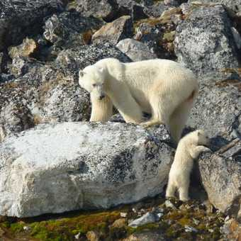 Mother and cub climbing