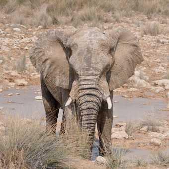 Elephant at waterhole in Etosha NP