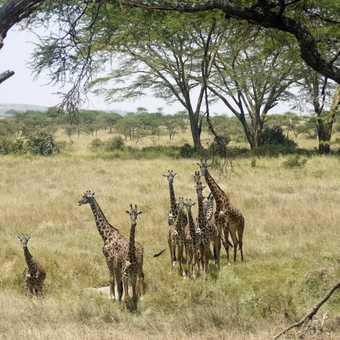 10 or 11 giraffes?