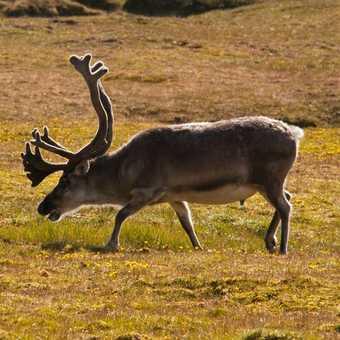 Reindeer and Wildflowers on Alkhornet