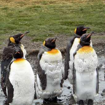 Moulting King penguins