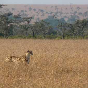 Ol Pejeta Cheetah Mum