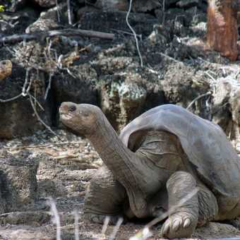 Lonesome George.  The only surviving Giant Tortoise from the Pinta Island.