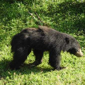 Sloth Bear (we were lucky to see this one)