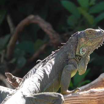 Iguana on the banks of the Tenorio river
