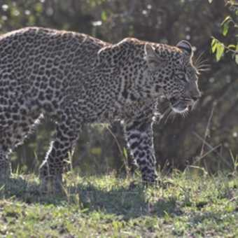 Leopard out for its early morning constitutional