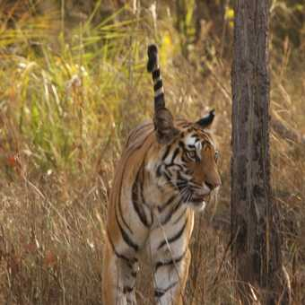 Bengal Tiger approaches