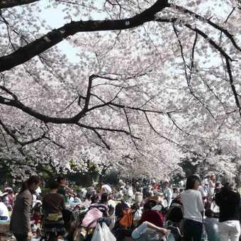 Hanami Party, Shinjuku-Gyon Park, Tokyo