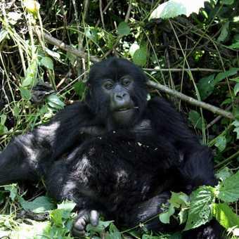 Young gorilla - Parc National des Volcans
