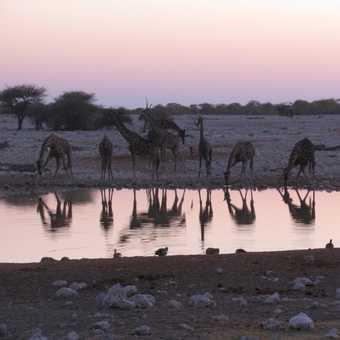 sunset waterhole giraffes