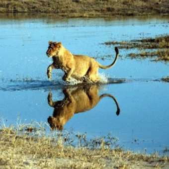 Chobe NP (Riverfront) - Lion