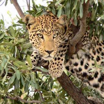 Cheetahs at Africat 2