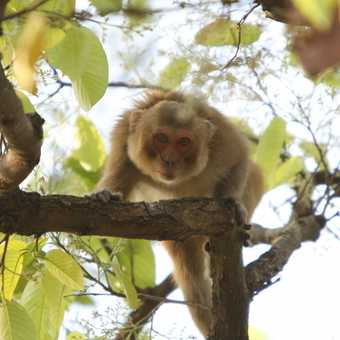 Rhesus Macaque stares out