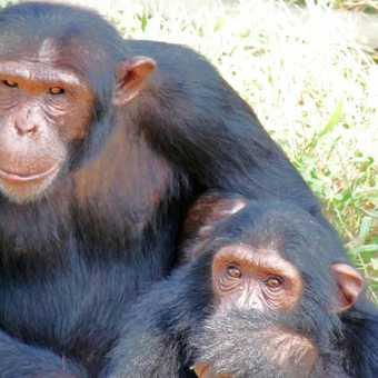Baby gorilla , Rwanda.