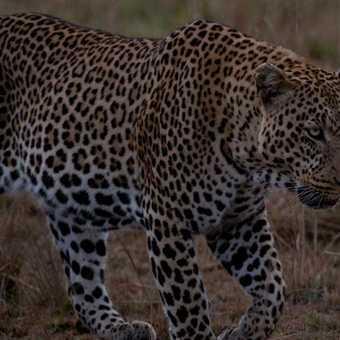 Male leopard1