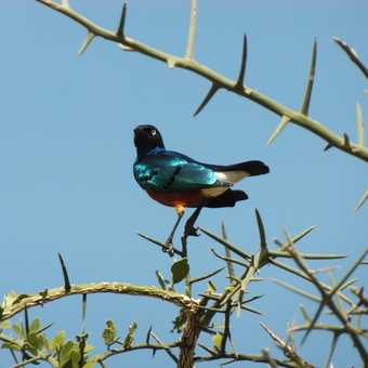 Serengeti .... pretty birdies throughout the trip
