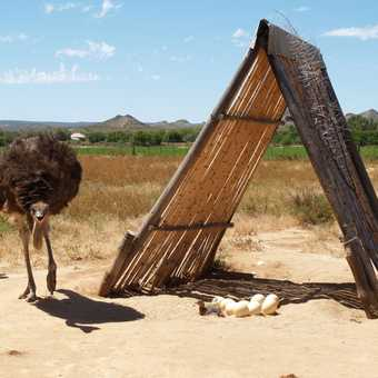 """Ostrich Farm, Mother and """"babies"""""""