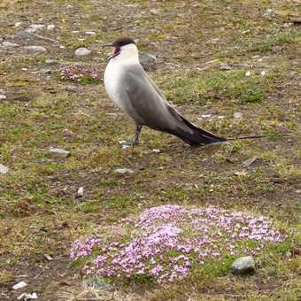 Long tailed Skua