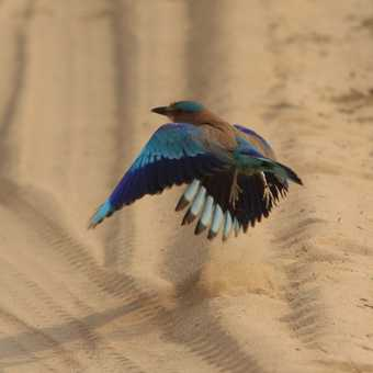 Indian roller makes a careful landing
