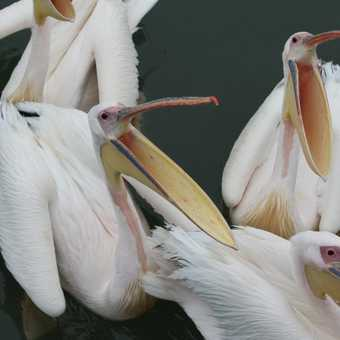 Feeding time for the Pelicans