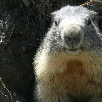 Close up Marmott - fab!!