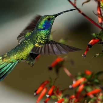 Acorn Woodpecker, hotel gardens at Savegre